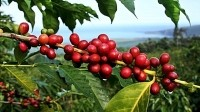 KonaRed looks to Pacific neighbour for new coffee fruit market