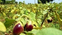 Crops like bt brinjal have been trialled before in India