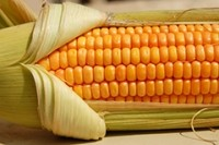 Aus-NZ regulator paves the way for GM corn approval
