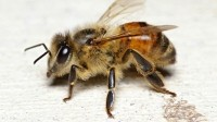 Oz scientists tag bees in first such study into crop pollination
