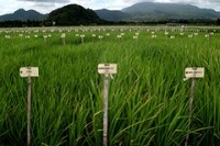 New salt-tolerant rice strain could help in fight for food security