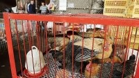 Chinese consumers typically prefer live poultry over processed birds