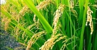 China concludes 'successful' tests on transgenic rice