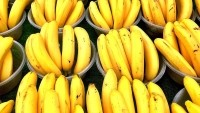 Bananas taking a battering from cyclones and killer soil disease