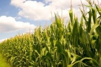 Bumper Chinese maize crop to have 'bearish' impact on global feed grain market