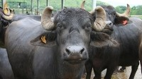 China gorges on Indian buffalo via Vietnam
