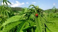 Farmers plan huge cannabis expansion to cash in on hemp foods ruling