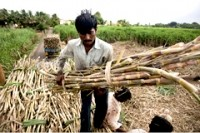 Indian reforms offer a sweet outlook for sugar industry
