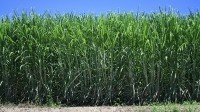 Aussies find way to improve sugar yields through new bacterium