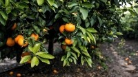 Selling mandarins to the Chinese: Israeli growers target Far East