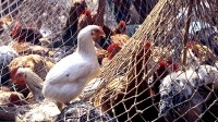 FAO calls for vigilance with avian influenza on the rise in China