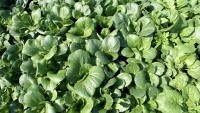 Aussies looking to Asia for greens as oriental veggie sales spike