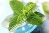 Kemin Industries' Phenolic Complex K110-42 is derived from patent-pending, non-GMO lines of spearmint developed by Kemin plant scientists using traditional plant-breeding methods