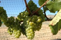 Chardonnay Grape Seed Flour shows anti-obesity benefits: Hamster data