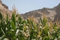 Corn production overtakes rice, leading to greater insecurity concerns