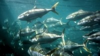 Global campaign marks the return of the Australian kingfish