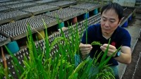 Tsutomu Ishimaru is introducing the SPIKE gene into new rice varieties to boost yield