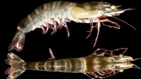 Prawn sperm secrets could free aquaculture from brood stock reliance
