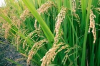 Indian foodgrain production slips while procurement surges