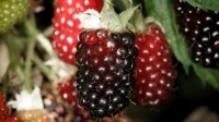New Zealand study: Boysenberries help improve lung function