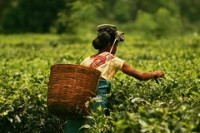 India's Tea Board chief urges plantations to turn over a new leaf
