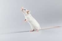 'Heal all' herb shows cognitive health benefits, for mice at least