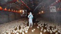 Avian flu outbreaks in Japan are becoming an annual occurrence