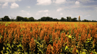 Sweet sorghum research project could 'revitalise the sugar industry'