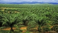 India and China behind Asia's growth in palm oil consumption
