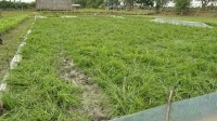 The vandalised golden rice field site showing uprooted and trampled plants.