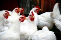 Review of bird flu safeguards urged to curb new outbreaks