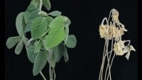 In salt-affected soils, the ability of soybean to resist the accumulation of sodium in its shoots can mean the difference between life and death.