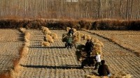 China could be self sufficient in grain by 2024, say officials
