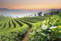 The consensus among suppliers is the variability of botanical ingredients is increasing. Tea in particular is displaying increases in quality variability